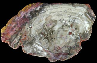 "Buy 10.6"" Colorful, Polished Petrified Wood Slab - Arizona - #95077"