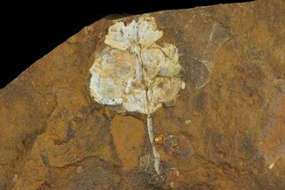 "Buy .6"" Fossil Flowering Plant Reproductive Structure - North Dakota - #95377"