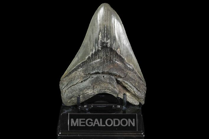 "5.02"" Fossil Megalodon Tooth - Serrated Blade"