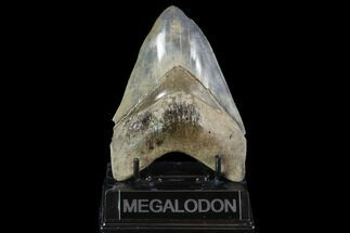 "Buy Serrated, 5.04"" Fossil Megalodon Tooth - Georgia - #95488"