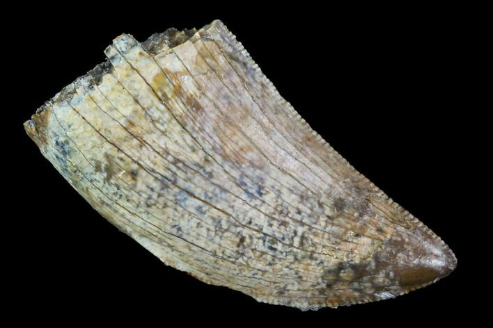 "Serrated, .99"" Tyrannosaur Tooth - Judith River Formation, Montana"