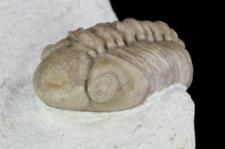 "Buy Detailed, 1.1"" Long Kainops Trilobite - Oklahoma - #95716"