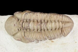 "Detailed, 1.35"" Long Kainops Trilobite - Oklahoma For Sale, #95681"