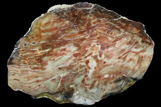 "13.4"" Jurassic Petrified Wood Slab - Henry Mountain For Sale, #96065"