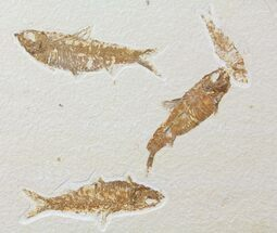 Buy Four Knightia Fossil Fish - Wyoming - #95629