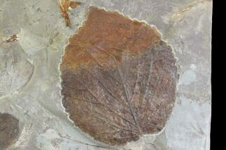 Two Fossil Leaves - Davidia And Zizyphoides - Montana For Sale, #95294