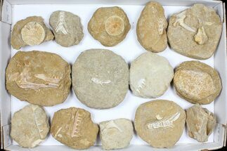 Various - Fossils For Sale - #96114