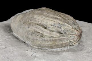 "Buy 2.1"" Eucalyptocrinus Crinoid Crown With Arms - Indiana - #94768"