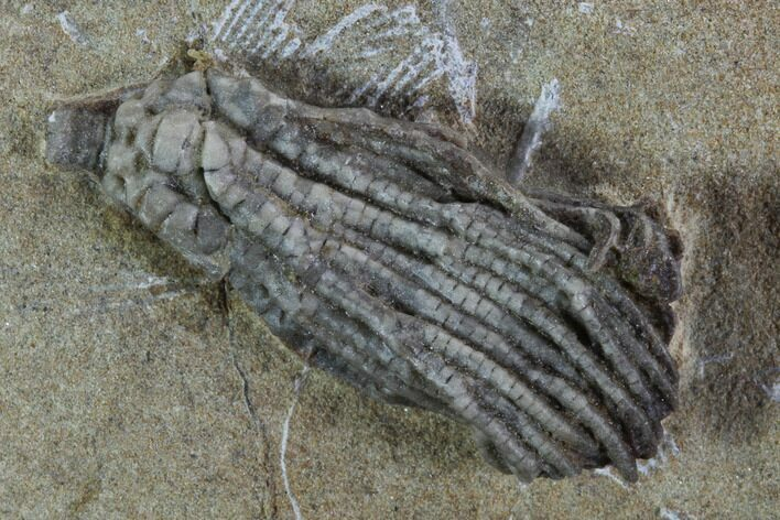 "1.1"" Crinoid (Pachylocrinus) Fossil - Crawfordsville, Indiana"