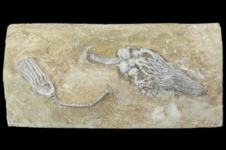 Buy Cyathocrinites Crinoid with Macrocrinus - Crawfordsville, Indiana - #94825