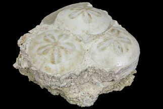Scutella faujasii - Fossils For Sale - #97233