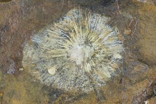 Cyclocarya brownii - Fossils For Sale - #96801