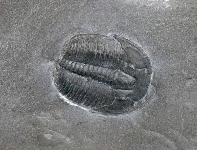"1/2"" Elrathia Trilobite In Matrix - Utah"