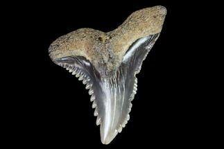 "1.03"" Hemipristis Shark Tooth Fossil - Virginia For Sale, #96707"