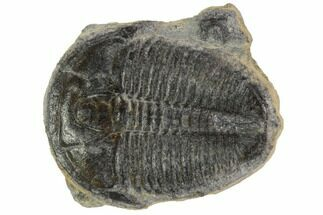 Elrathia kingii - Fossils For Sale - #97071