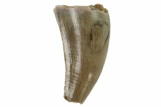 "Bargain, .45"" Cretaceous Crocodilian Tooth - Hell Creek Formation For Sale, #97577"