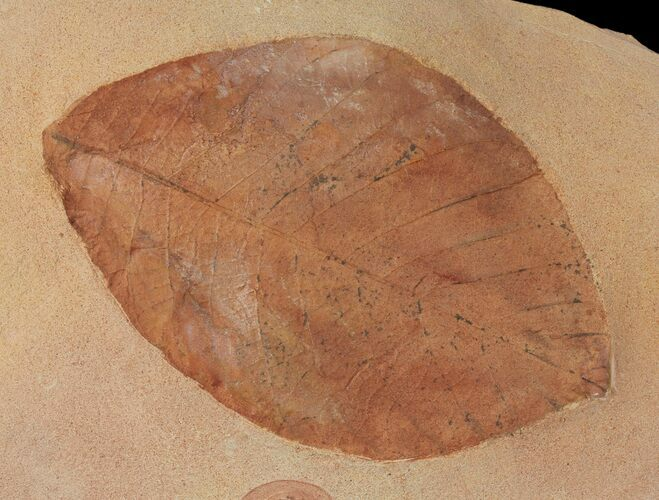 "Large, 5.2"" Red Fossil Leaf (Phyllites) - Montana"