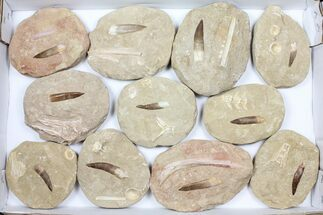 Wholesale Flat: Real Fossil Plesiosaur Teeth In Matrix - 11 Pieces For Sale, #98240