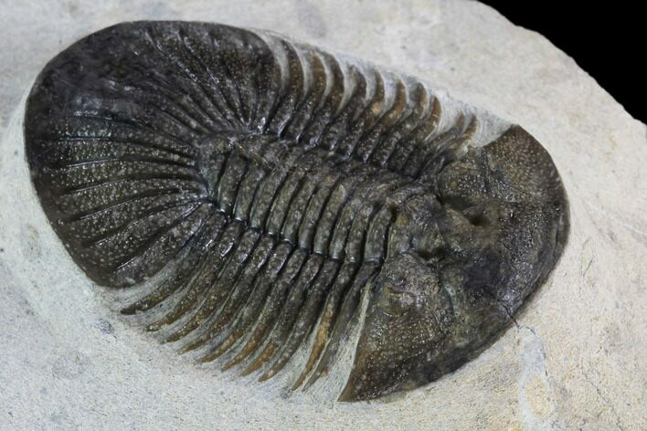 "1.8"" Metascutellum Trilobite - Very Pustulose With Axial Spines"