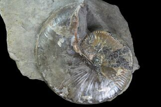 Beautiful Hoploscaphites Ammonite Specimen - South Dakota For Sale, #98708