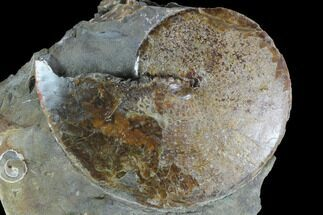 Sphenodiscus lenticularis - Fossils For Sale - #98718