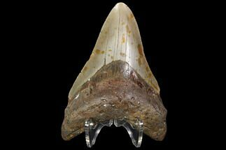 "Buy 4.26"" Fossil Megalodon Tooth - North Carolina - #98989"