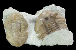 "1.55"" Asaphus Latus with Partial Kowalewskii Trilobite - Russia For Sale, #99206"