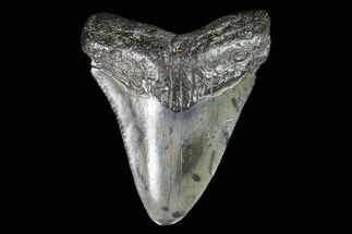 "Buy 2.21"" Juvenile Megalodon Tooth - Georgia - #99151"
