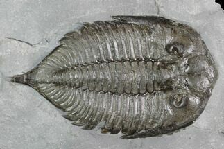 "Buy 2.4"" Dalmanites Trilobite Fossil  - New York - #99079"