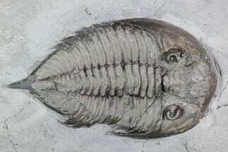 "2"" Dalmanites Trilobite Fossil  - New York For Sale, #99083"