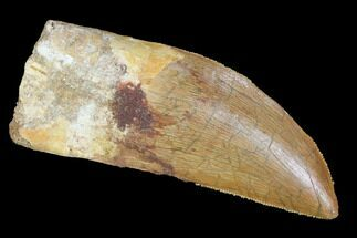 "Buy Serrated, 2.9"" Carcharodontosaurus Tooth - Real Dinosaur Tooth - #99796"