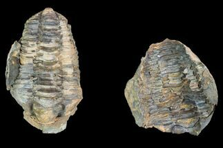 Calymene sp. - Fossils For Sale - #100008