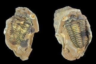 Calymene sp. - Fossils For Sale - #100017