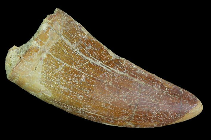 "Bargain, 1.98"" Carcharodontosaurus Tooth - Real Dinosaur Tooth"