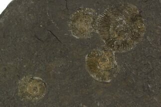 "Buy 6"" Dactylioceras Ammonite Cluster - Posidonia Shale, Germany - #100258"