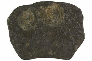 Dactylioceras - Fossils For Sale - #100275