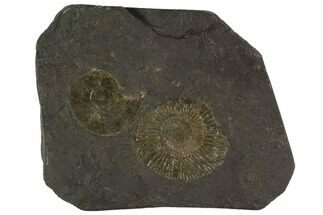 Dactylioceras - Fossils For Sale - #100263