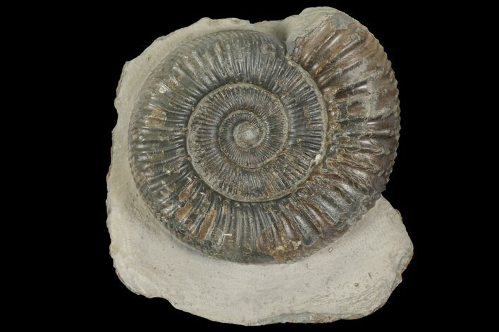 "2.3"" Dactylioceras Ammonite Fossil - England"