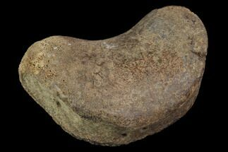 Unidentified Hadrosaur - Fossils For Sale - #100506