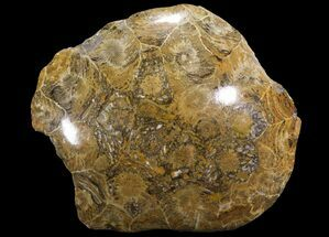"3.5"" Polished Fossil Coral (Actinocyathus) - Morocco For Sale, #100565"