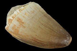 "1.4"" Mosasaur (Prognathodon) Tooth - Morocco For Sale, #101036"