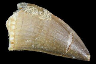 "1.3"" Mosasaur (Prognathodon) Tooth - Morocco For Sale, #101075"