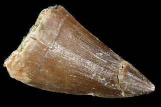 "Buy 1.4"" Mosasaur (Prognathodon) Tooth - Morocco - #101077"