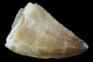 "1.1"" Mosasaur (Prognathodon) Tooth - Morocco For Sale, #101081"