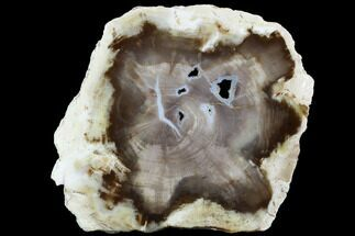 "3.4"" Petrified Wood (Bald Cypress) Slab - Saddle Mountain, WA For Sale, #101204"