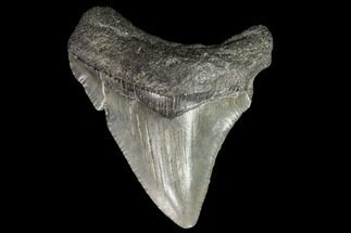 Carcharocles megalodon - Fossils For Sale - #101418