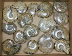 "Buy Wholesale: 3-5"" Whole Polished Ammonites (Grade B/C) - 16 Pieces - #101410"