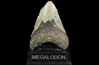 Carcharocles megalodon - Fossils For Sale - #101307