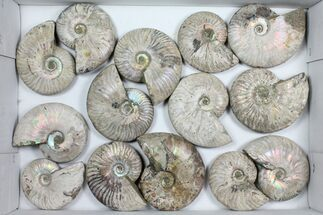 Unidentified - Fossils For Sale - #101589