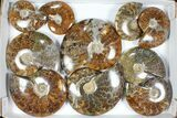 "Wholesale Lot: Polished Ammonites (3.7 - 6.3"") - 10 Pieces - #101598-1"
